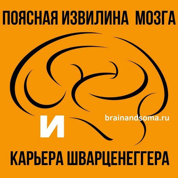 поясная извилина головного мозга